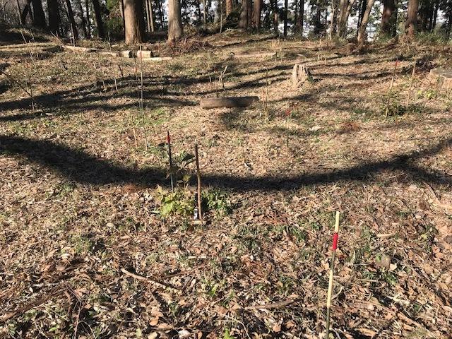 植樹したヤマアジサイの傍らにマーキング1・5_c0014967_06272483.jpg