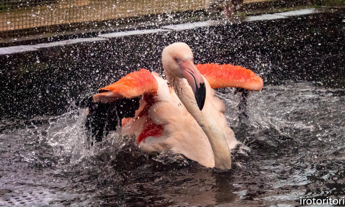 水浴び〜!!  (フラミンゴ)  2020/01/04  _d0146592_00011655.jpg