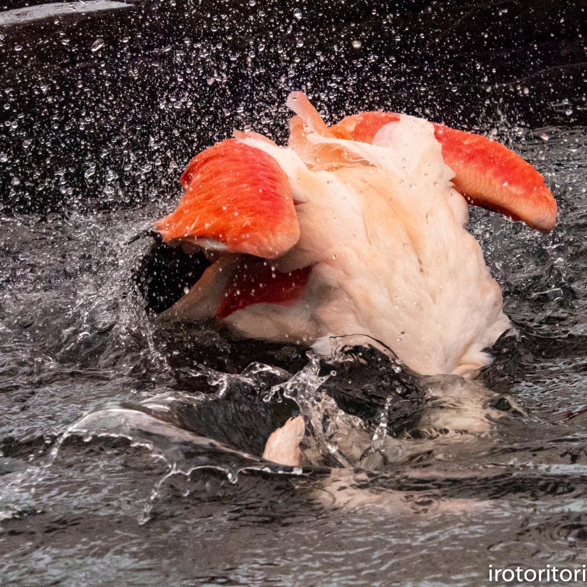 水浴び〜!!  (フラミンゴ)  2020/01/04  _d0146592_00012614.jpg