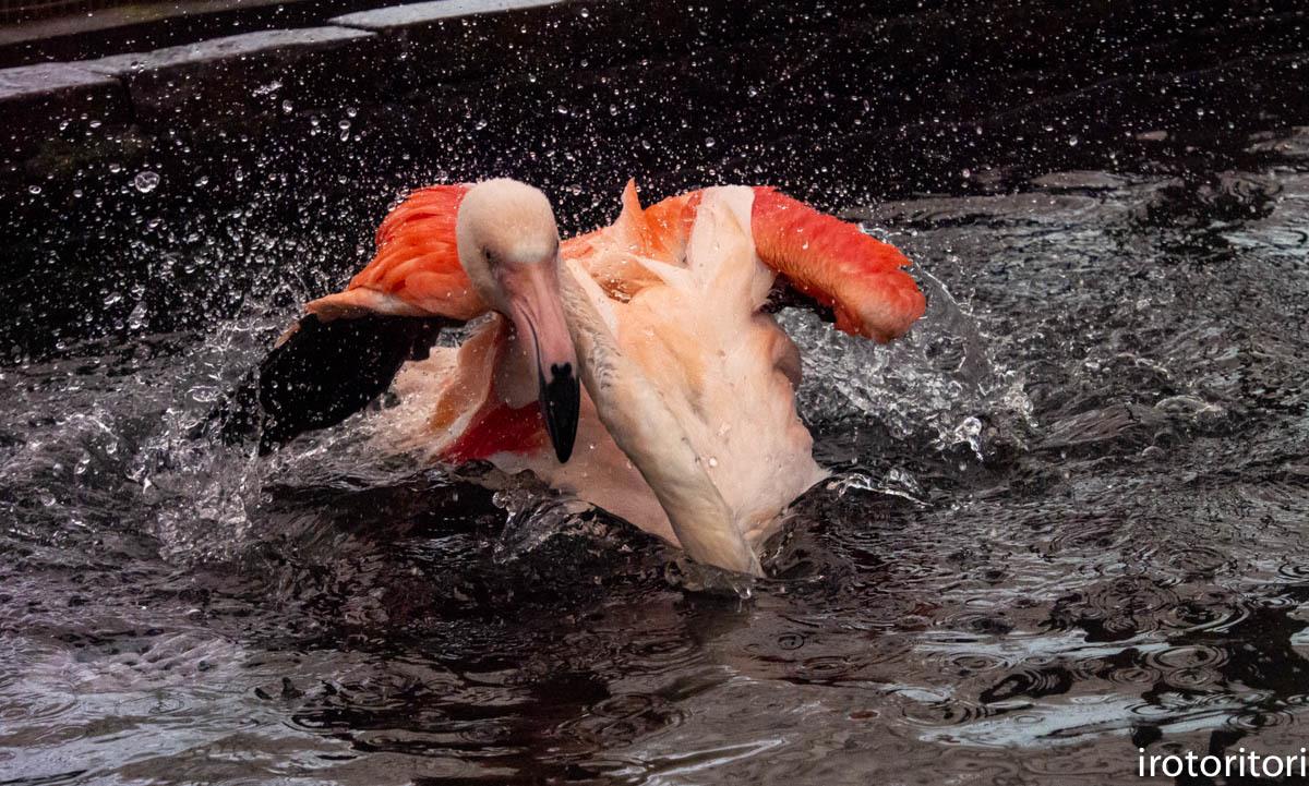 水浴び〜!!  (フラミンゴ)  2020/01/04  _d0146592_00013611.jpg
