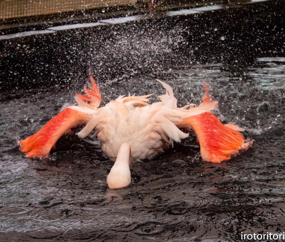 水浴び〜!!  (フラミンゴ)  2020/01/04  _d0146592_00015342.jpg