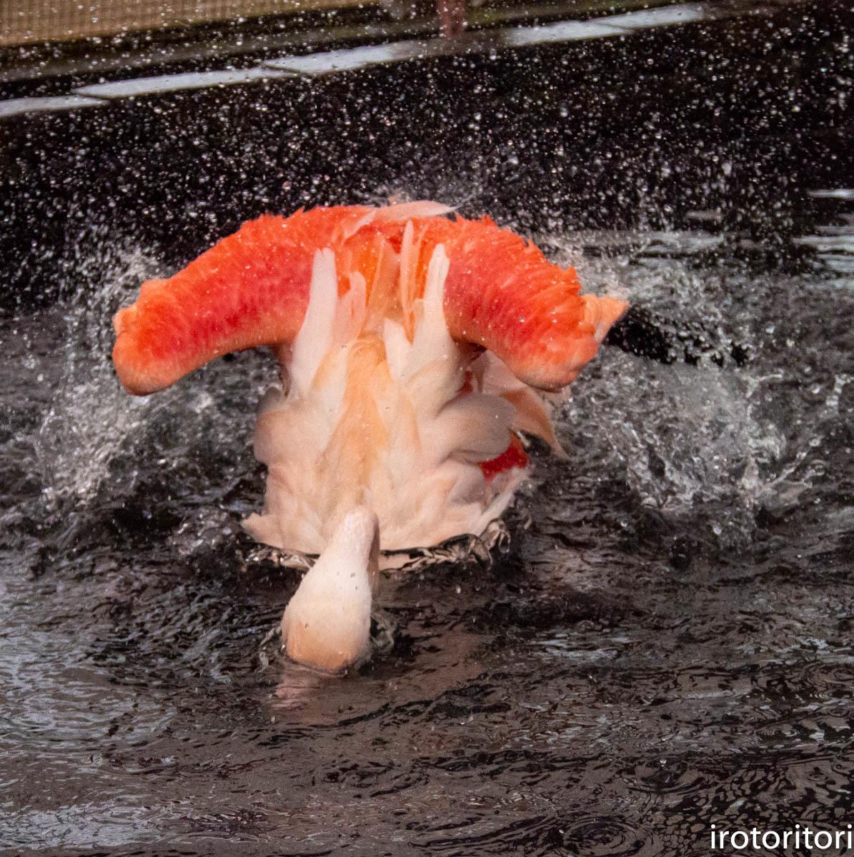 水浴び〜!!  (フラミンゴ)  2020/01/04  _d0146592_00020207.jpg
