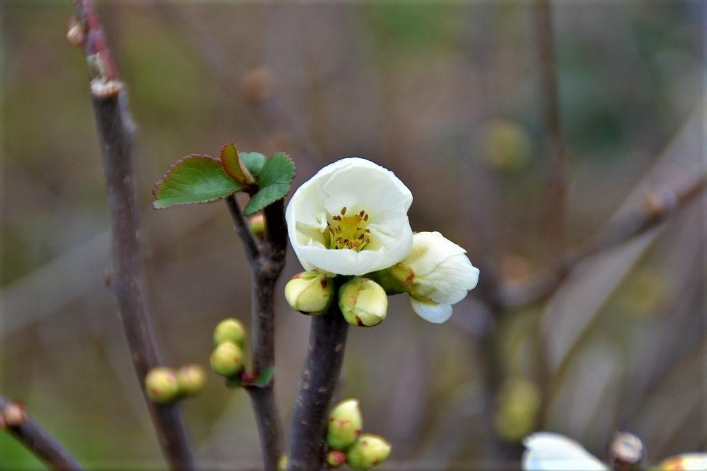 ボケの花が・・・_e0372207_20553035.jpg