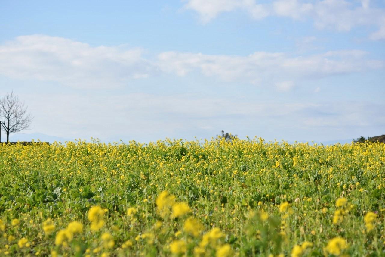 菜の花畑 ソレイユの丘_d0065116_22121763.jpg