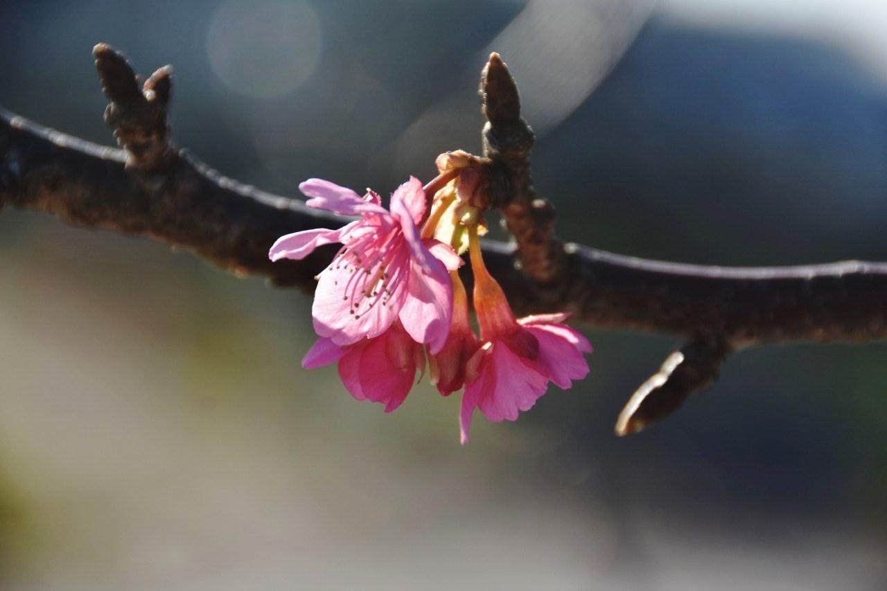 まだ咲き初めし桃色の・・・_d0065116_22472712.jpg