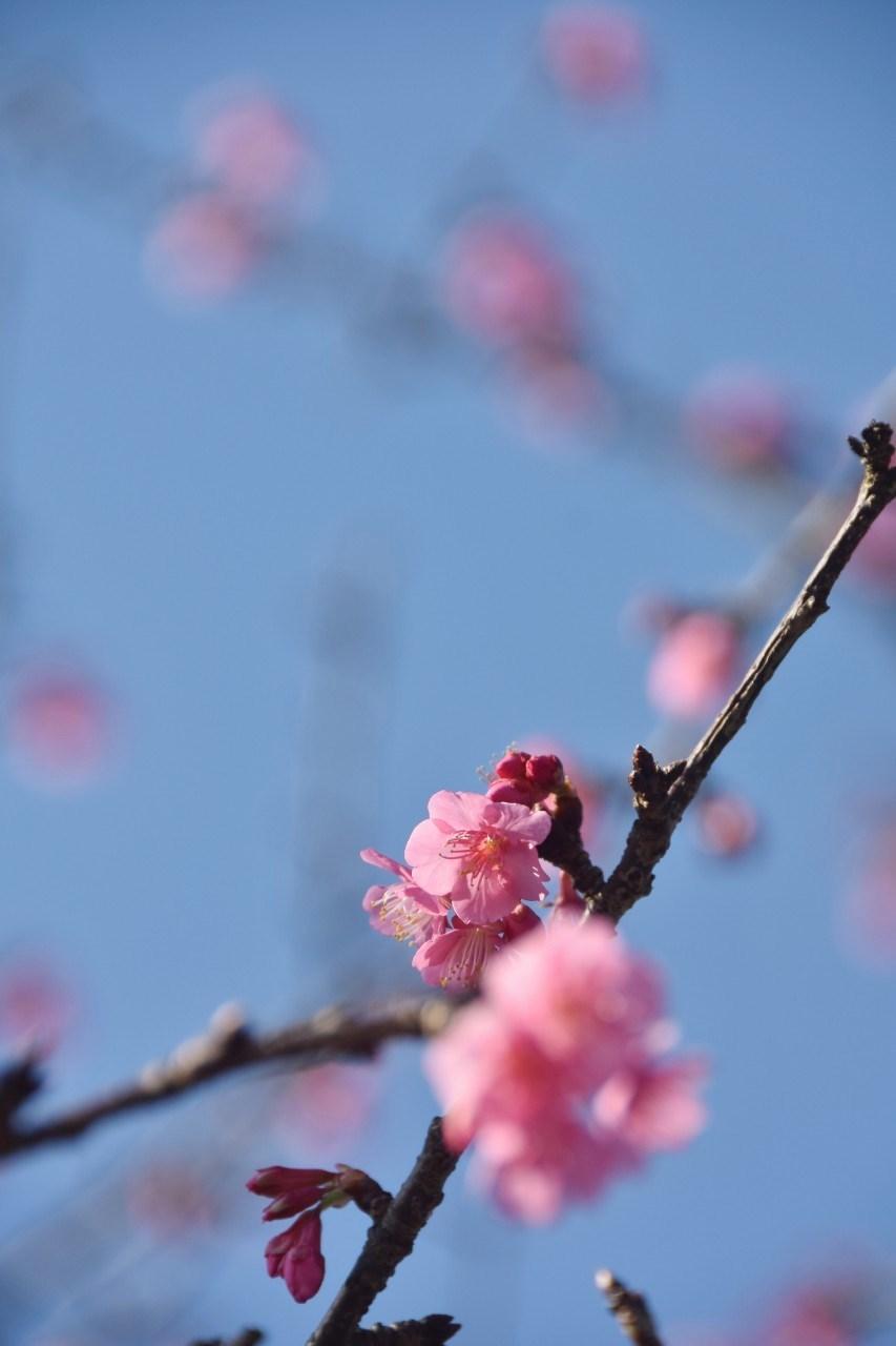まだ咲き初めし桃色の・・・_d0065116_22482653.jpg