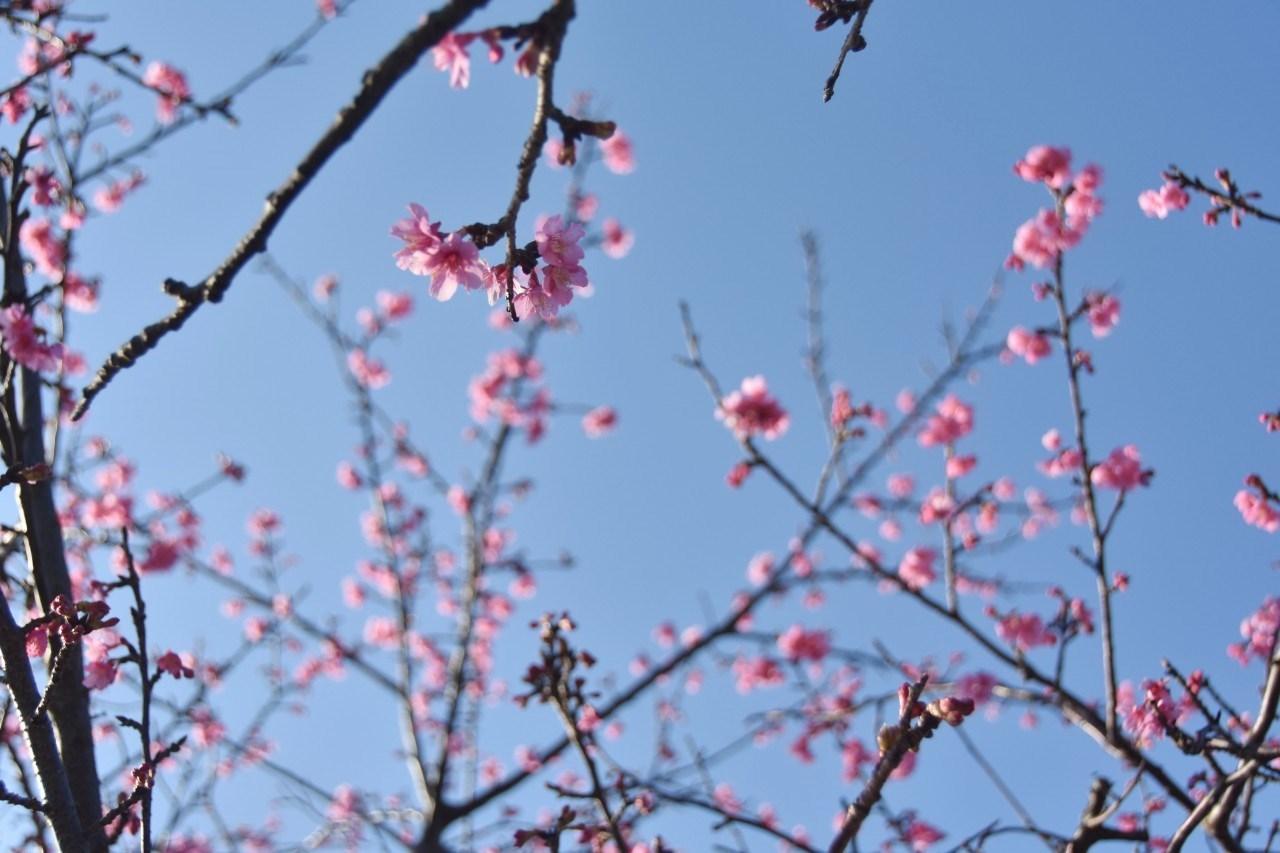 まだ咲き初めし桃色の・・・_d0065116_22502684.jpg