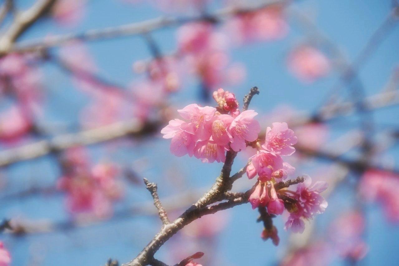 まだ咲き初めし桃色の・・・_d0065116_22540509.jpg
