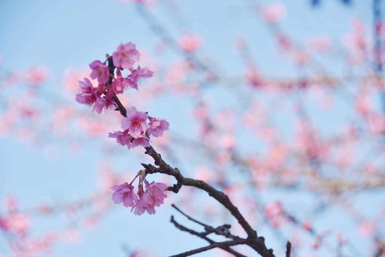 まだ咲き初めし桃色の・・・_d0065116_22552483.jpg