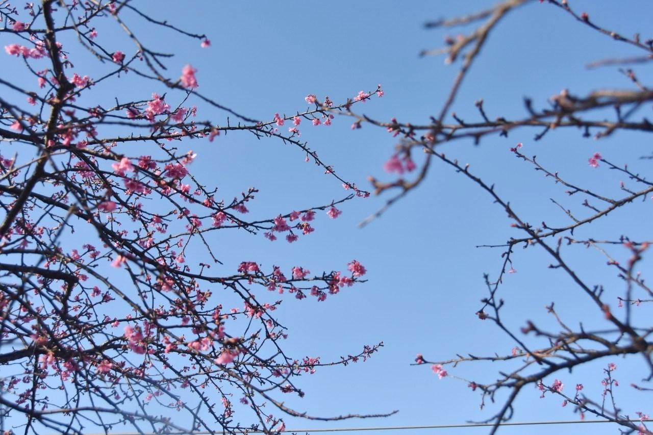 まだ咲き初めし桃色の・・・_d0065116_22564363.jpg