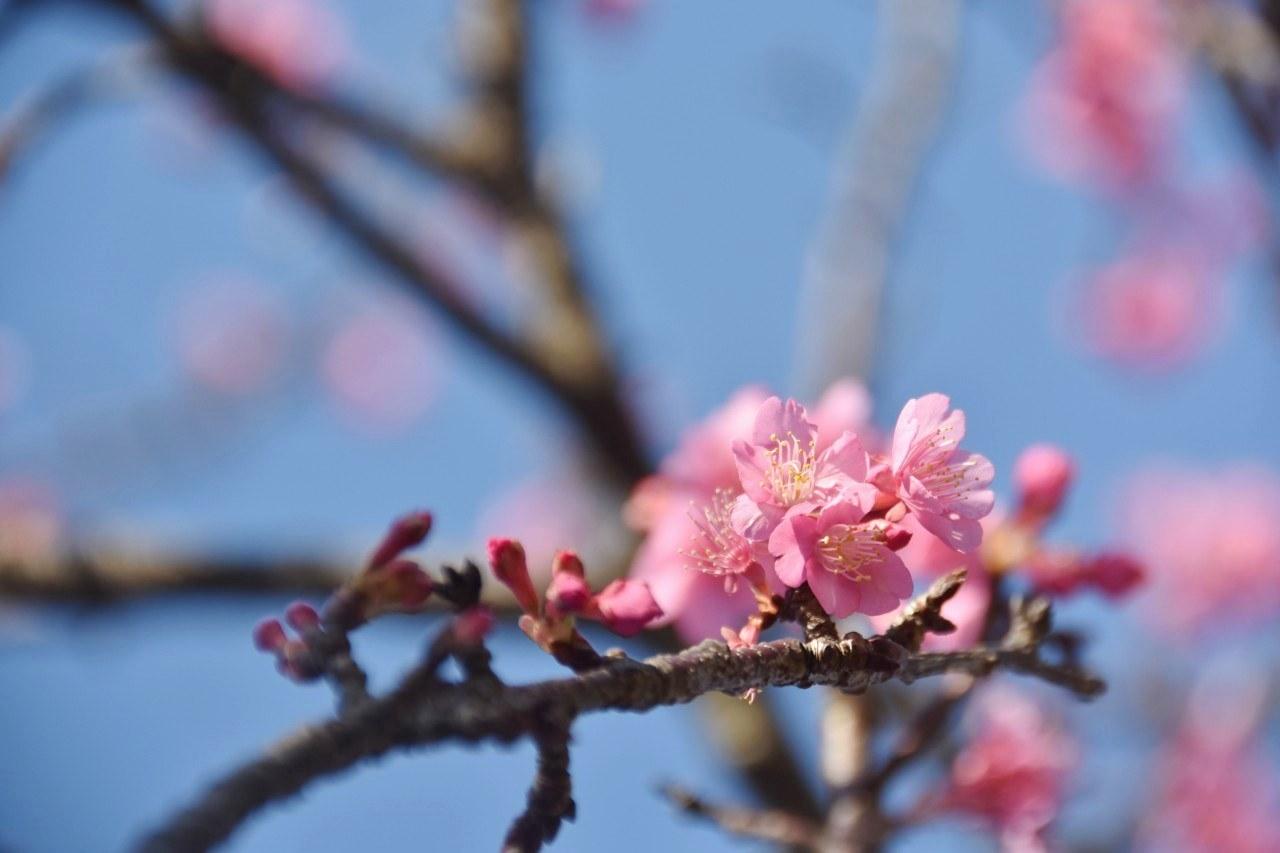 まだ咲き初めし桃色の・・・_d0065116_22574790.jpg