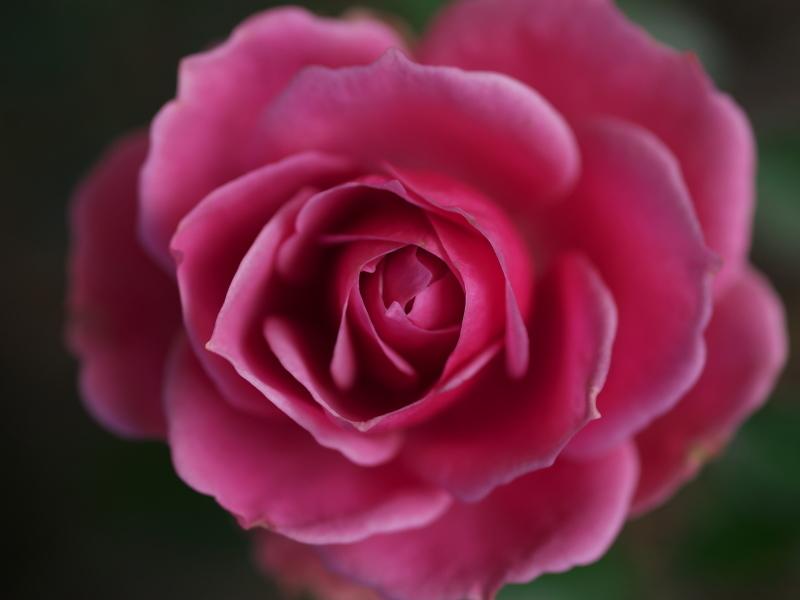 冬の薔薇_e0169421_21431517.jpg