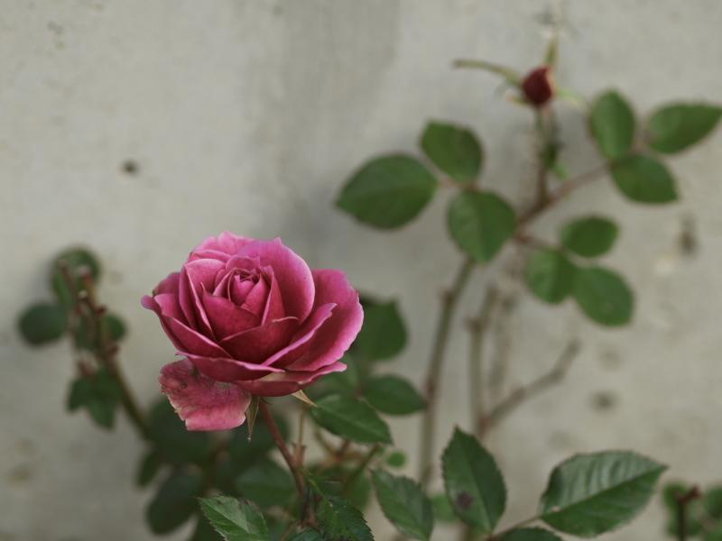 冬の薔薇_e0169421_21431609.jpg