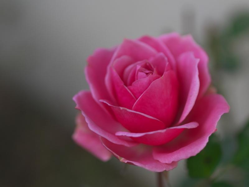 冬の薔薇_e0169421_21445022.jpg