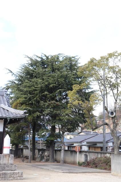 ヒマラヤ杉の松ぼっくり その後_d0346950_07260735.jpg