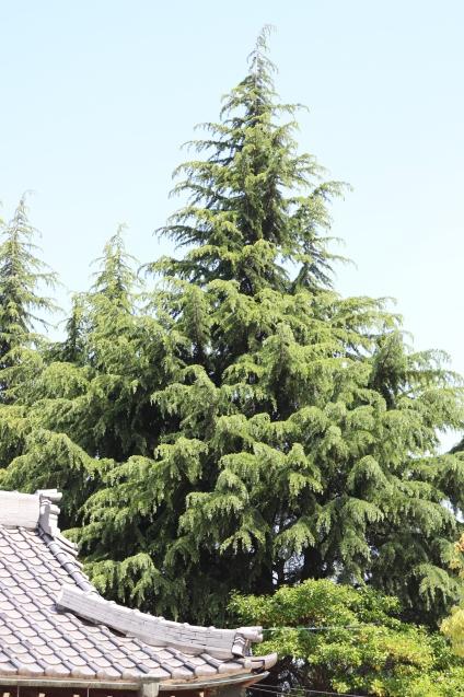 ヒマラヤ杉の松ぼっくり その後_d0346950_07283834.jpg