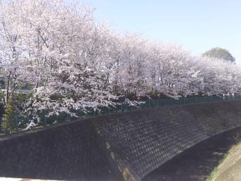 ジョグコースの桜満開_a0394451_13324643.jpg