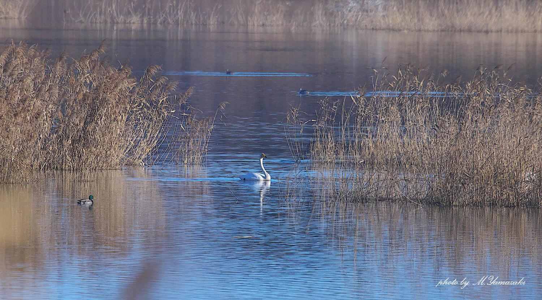 白鳥の浮かぶ湖水_c0217255_07121147.jpg