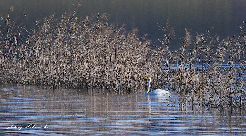 白鳥の浮かぶ湖水_c0217255_07121508.jpg