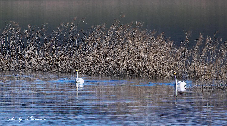 白鳥の浮かぶ湖水_c0217255_07121910.jpg