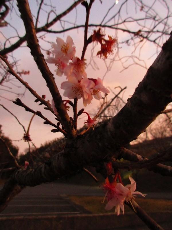 植物「一足早く桜を見る」_b0362459_15171213.jpg
