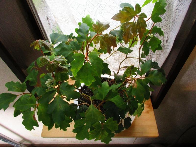 植物「一足早く桜を見る」_b0362459_16140507.jpg