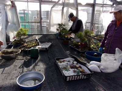 正月用寄せ植え盆栽の展示の様子_d0338682_17024624.jpg