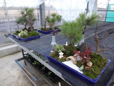 正月用寄せ植え盆栽の展示の様子_d0338682_17032358.jpg