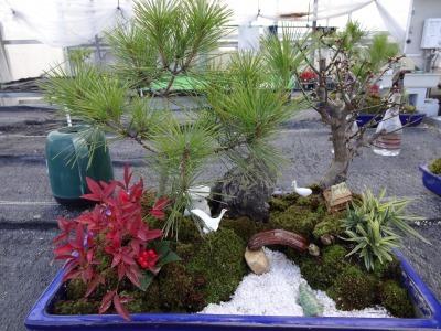 正月用寄せ植え盆栽の展示の様子_d0338682_17035571.jpg