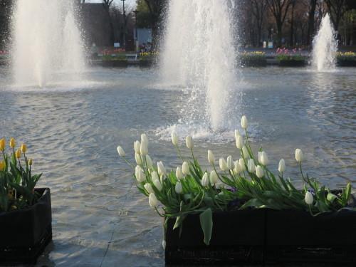 恩賜上野公園の噴水の花壇はチュリップが満開_c0075701_23271690.jpg
