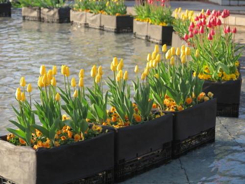 恩賜上野公園の噴水の花壇はチュリップが満開_c0075701_23292464.jpg