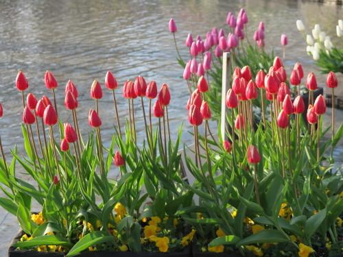 恩賜上野公園の噴水の花壇はチュリップが満開_c0075701_23320107.jpg