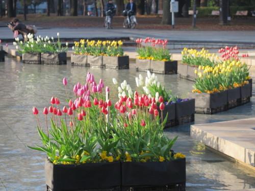 恩賜上野公園の噴水の花壇はチュリップが満開_c0075701_23330868.jpg