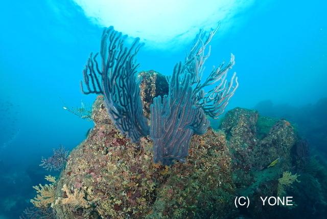 今日も透明度抜群の川奈の海から 〜カエルアンコウいろいろ〜_b0163039_16435757.jpg