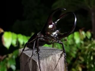 ボルネオ島の見るべき昆虫_a0132757_16032083.jpg
