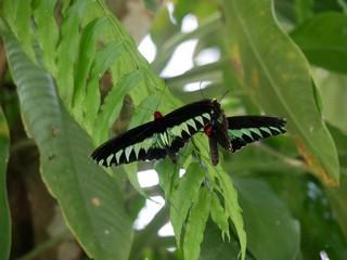 ボルネオで見たい昆虫 ベスト6_a0132757_16040321.jpg