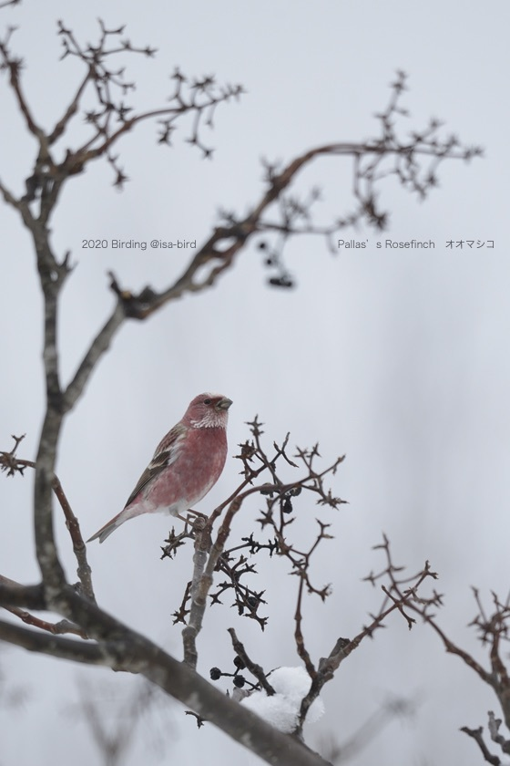 Rose Finch in the snow_d0164892_08425696.jpeg