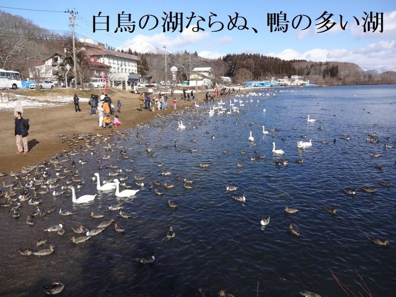 白鳥の湖?カモの湖?_d0096268_19135259.jpg