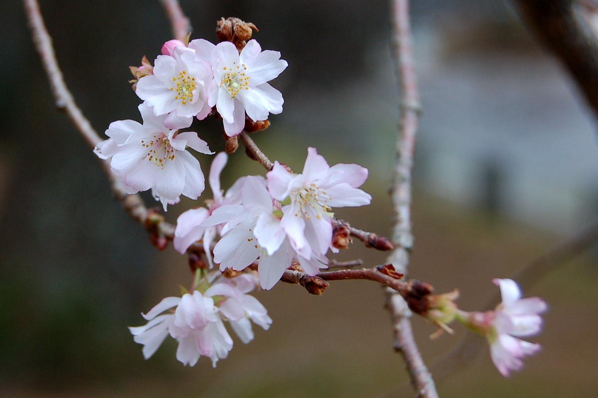 寒桜_c0057390_00164198.jpg