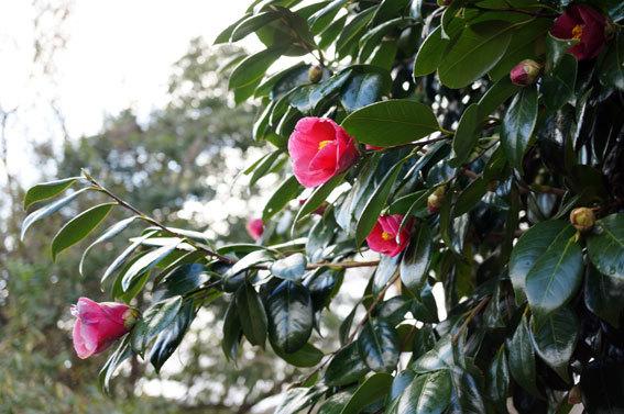 元気に咲くのはヤブツバキ_b0145296_09334711.jpg