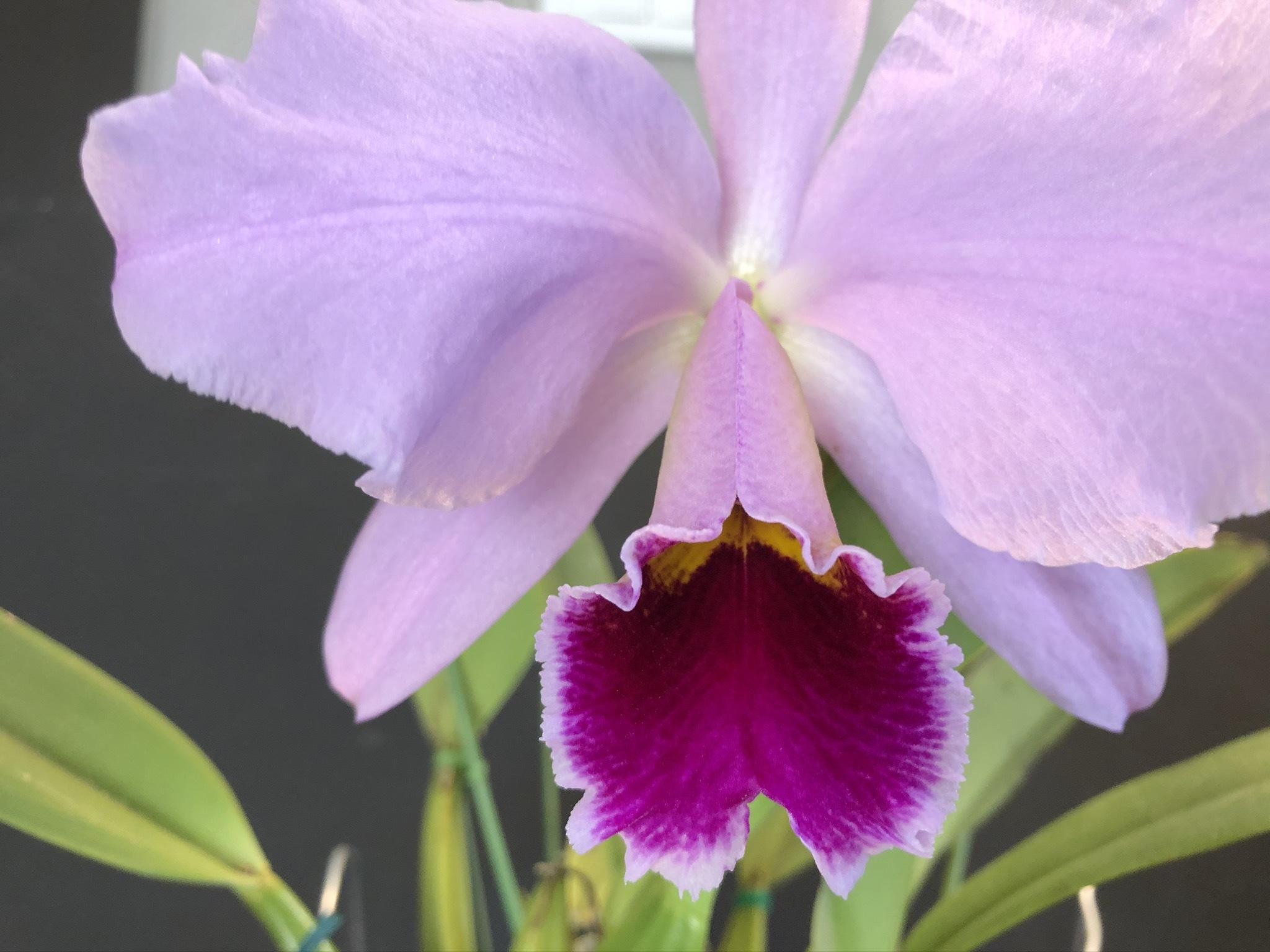 C.percvaliana tipo ×sib_d0007501_11081842.jpg