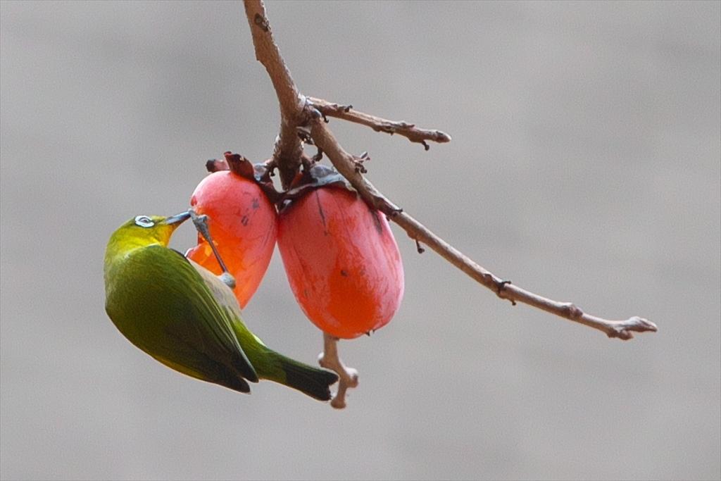 続よく柿食う客だ!(2020/01/06)_b0393210_17432323.jpg