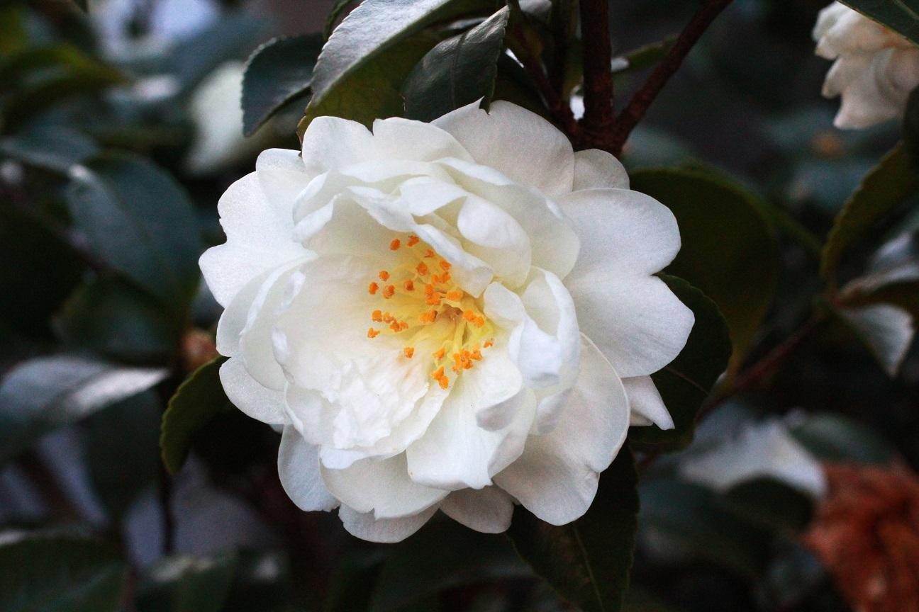 純白な八重の山茶花_a0107574_19065296.jpg