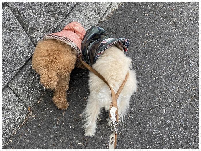 さくらと大、今日は私とロング散歩だよ、大は一度も抱っこと言わず歩いてくれて、お利口さん\\(>3(O^-)/ウフ☆_b0175688_19511497.jpg