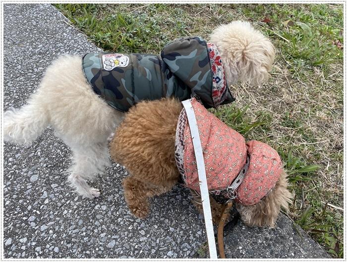 さくらと大、今日は私とロング散歩だよ、大は一度も抱っこと言わず歩いてくれて、お利口さん\\(>3(O^-)/ウフ☆_b0175688_19511822.jpg
