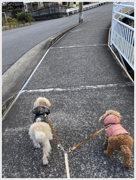 さくらと大、今日は私とロング散歩だよ、大は一度も抱っこと言わず歩いてくれて、お利口さん\\(>3(O^-)/ウフ☆_b0175688_20052344.jpg