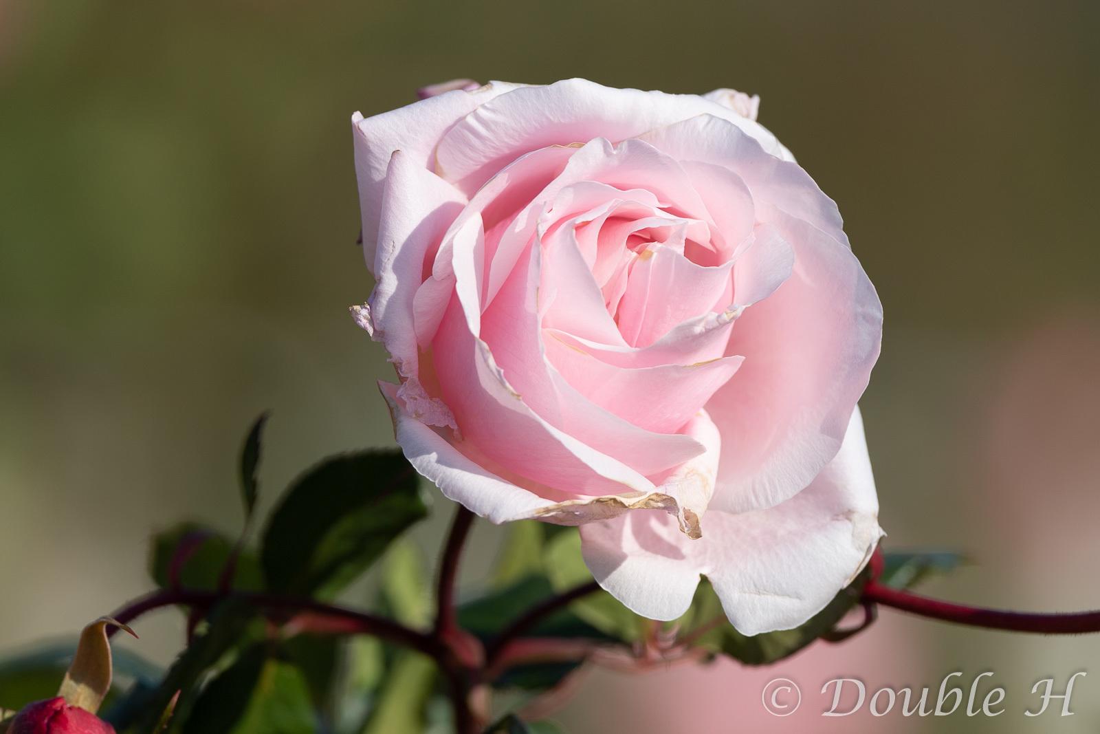 556PFで冬薔薇一輪_e0401296_08472288.jpg