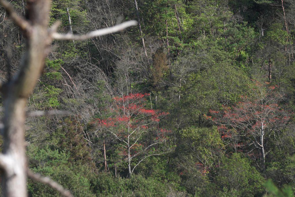 三本木山界隈タマミズキ(2020/01/09)_b0393210_16095380.jpg