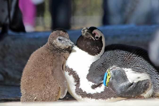ケープペンギンのヒナ(上野動物園 January 2019)_b0355317_21084339.jpg