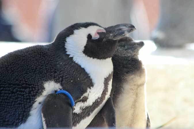ケープペンギンのヒナ(上野動物園 January 2019)_b0355317_21175396.jpg